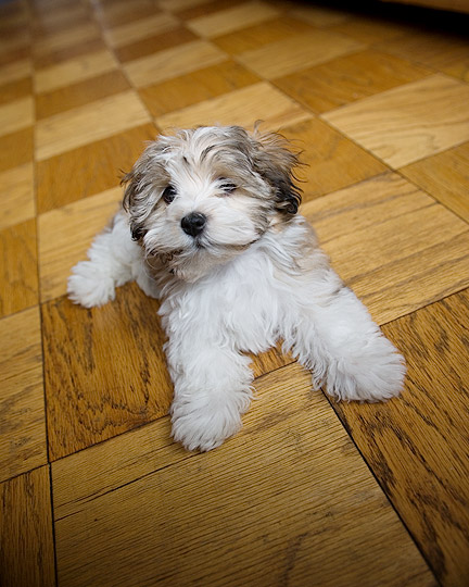 Studio photo of apricot Havanese dog in New York City