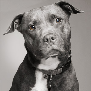 Iconic pit bull with cute head tilt tight headshot