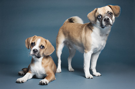 Studio picture of two puggle dog brothers