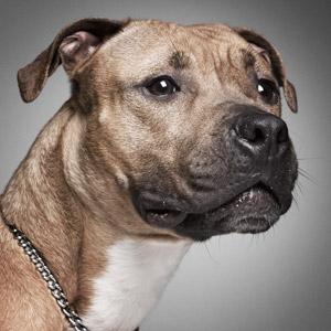 Tight headshot of bully breed on gray background