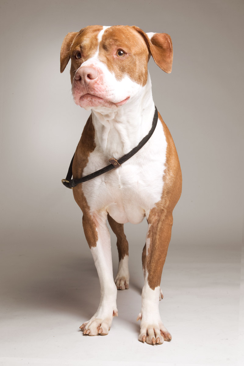 Studio portrait of bully breed on white background