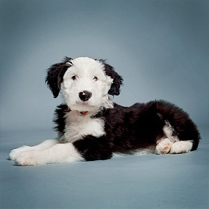 Studio picture of two-month old English sheepdog puppy