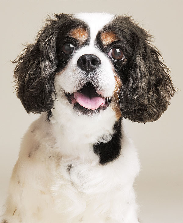 Cavalier King Charles dog portrait in color