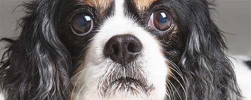 Tight shot of Cavalier King Charles dog portrait in color