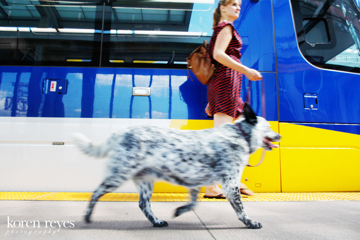 Portrait of an Australian cattle dog with Newport, RI Light Rail train in the background in the North Loop, downtown Newport, RI