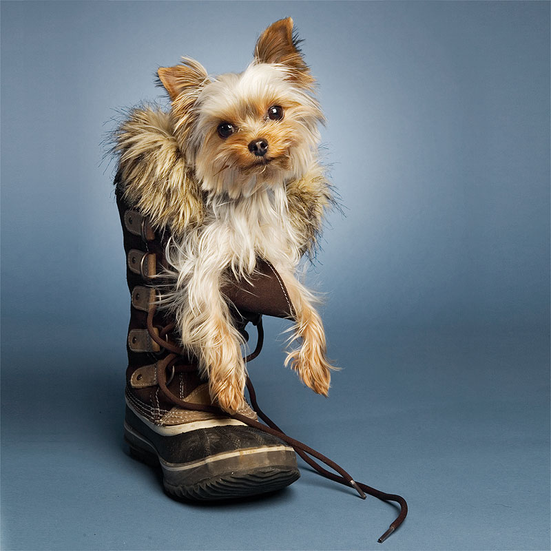 Studio portrait of Yorkshire terrier in winter boot on blue background
