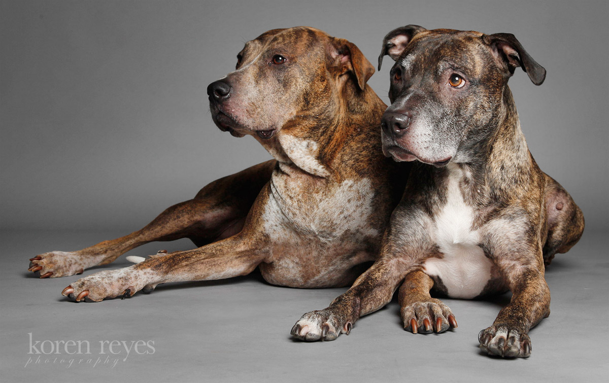 Two brindle pit bulls look off-camera at Koren Reyes photography