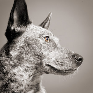 Iconic photo of cattle dog or blue heeler with big ears