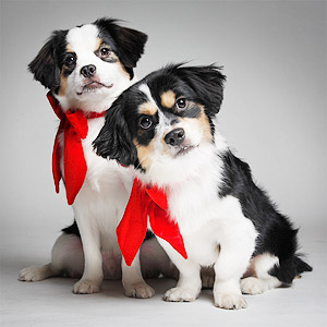 Super cute photo of Cavalier King Charles mix dogs with red bows