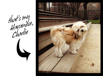 Photo of apricot Havanese dog in Central Park