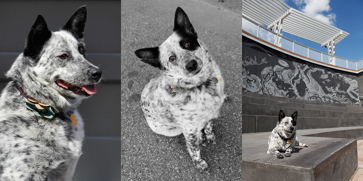 Triptych of Australian cattle dog portraits done in the North Loop of Newport, RI