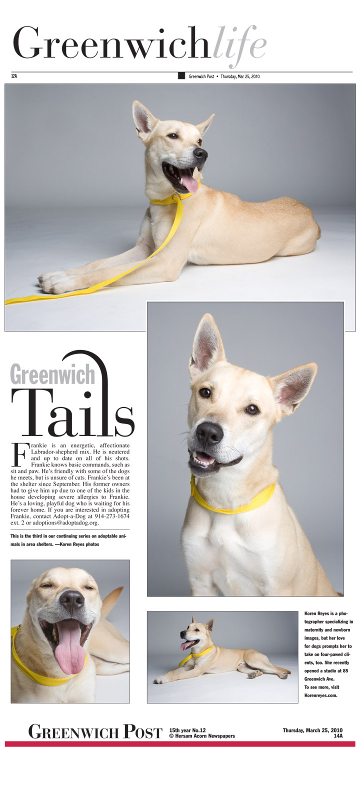 Yellow lab mix, Frankie needs a forever home. Photos by Koren Reyes of Newport, RI and NYC